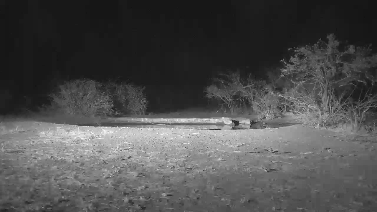 VIDEO:  You can't see the Lions but your can hear their ROARS