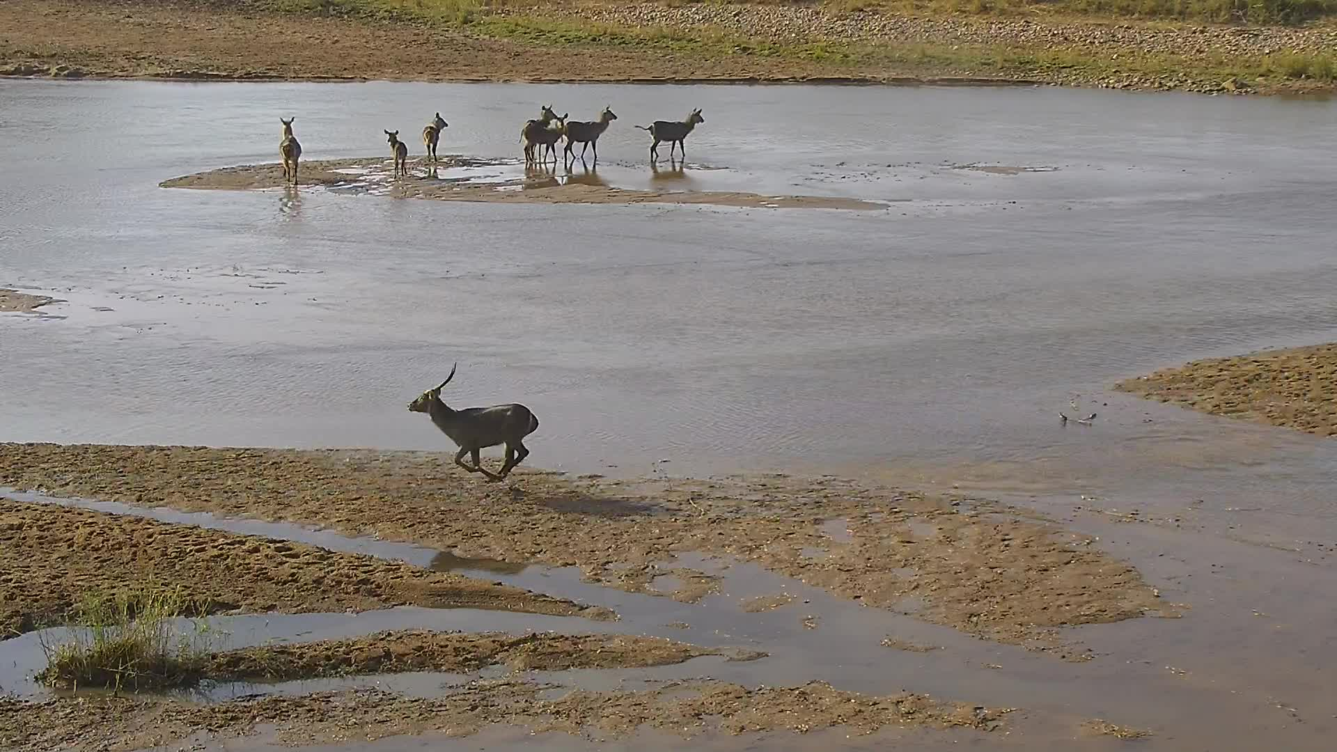 VIDEO: Waterbucks try to cross the river, they jump from sandbank to sandbank