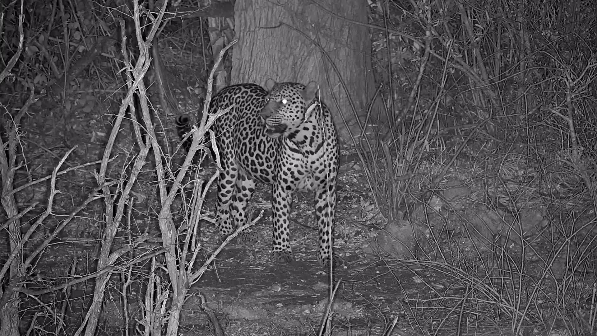 VIDEO:Short visit by a Leopard nearby