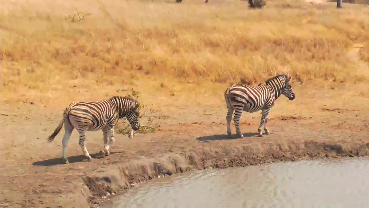 VIDEO: Zebra, Egyptian Geese and White Backed Vultures