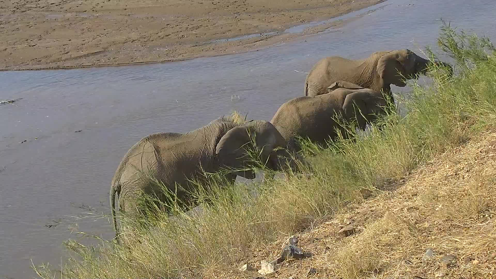 VIDEO: Elephants enjoy the reed and try also to get green leaves
