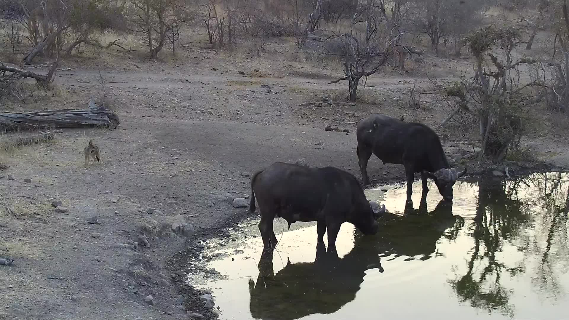 VIDEO:  Cape Buffalo having a drink with Black-backed Jackal observing