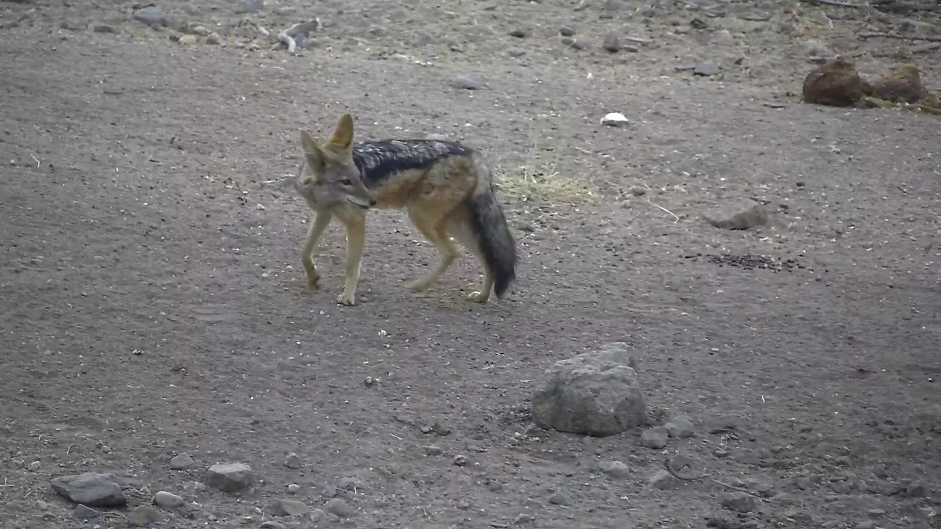 VIDEO:  A very nervous Black-backed Jackal having a drink of water