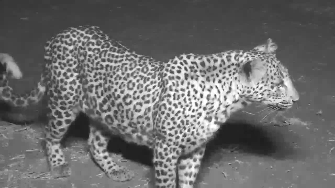 VIDEO:  Mother Leopard and her cub leaving- glances up at the cam then around