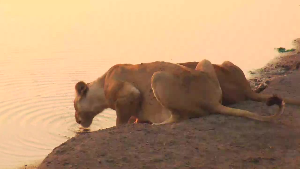 VIDEO:  2 Lionesses having a sunset drink