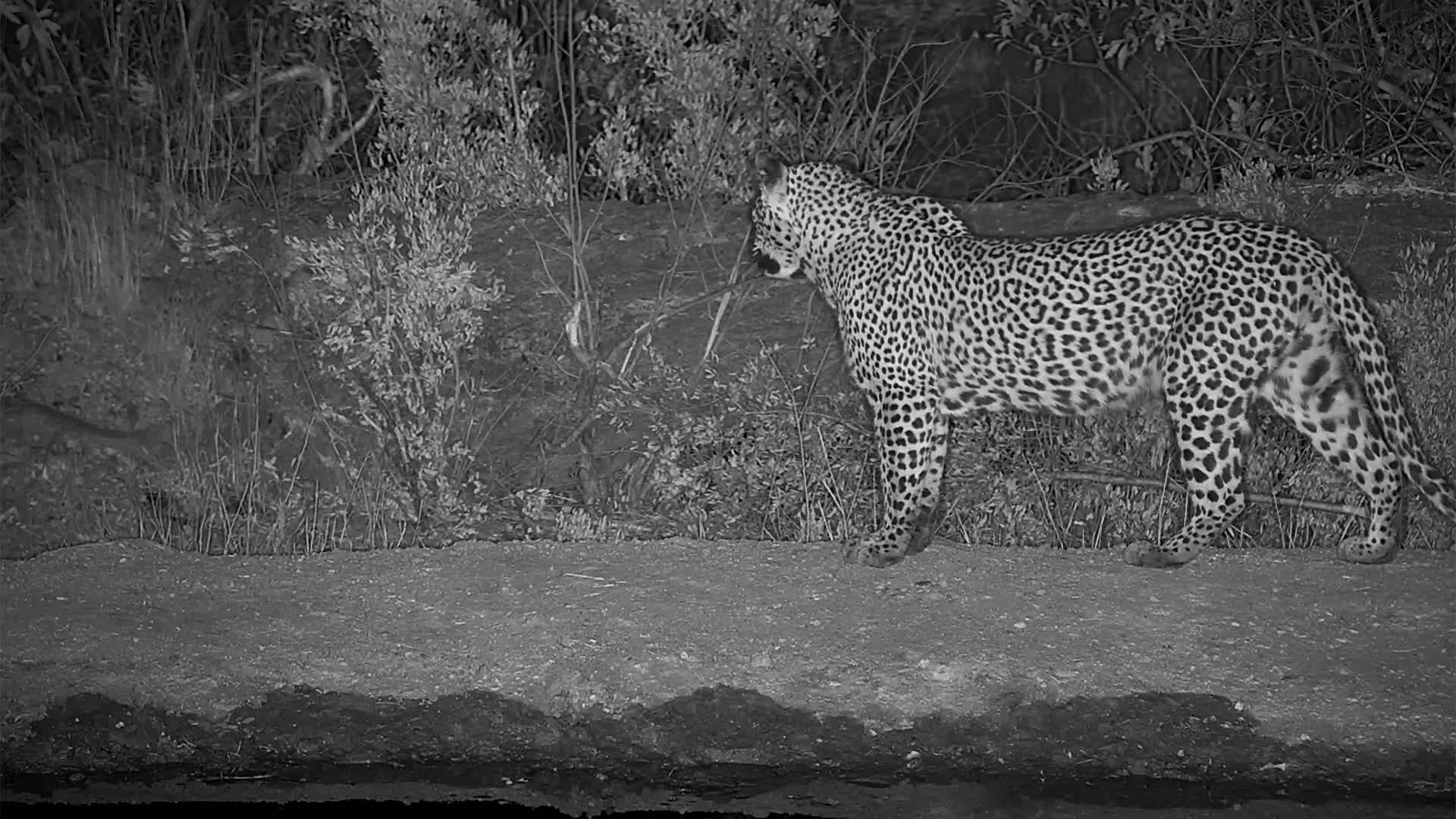 VIDEO: Leopard at the waterhole
