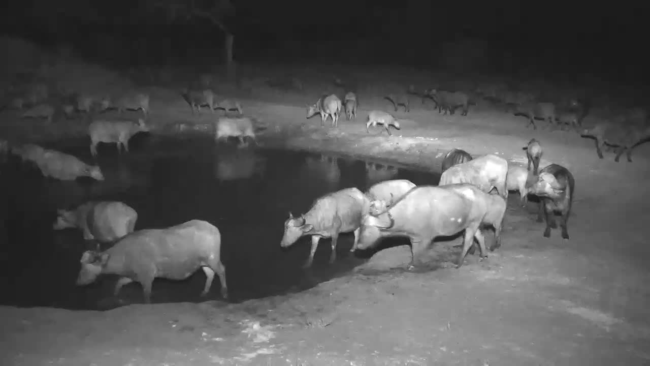 VIDEO:Large Herd of Cape Buffalo came for a drink to the waterhole