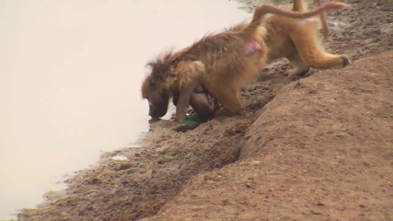 VIDEO: Troop of Baboons with young at the waterhole