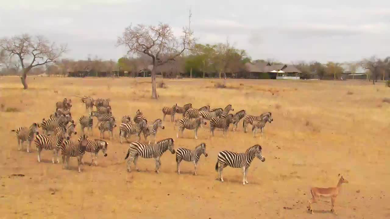 VIDEO:  Zebra, Blue Wildebeest and Impala on their way to the waterhole to have a drink