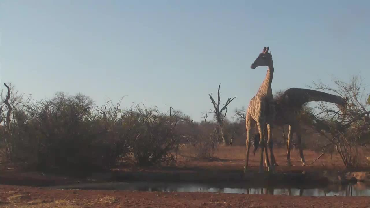 VIDEO:  Male and female Giraffes coming for a drink