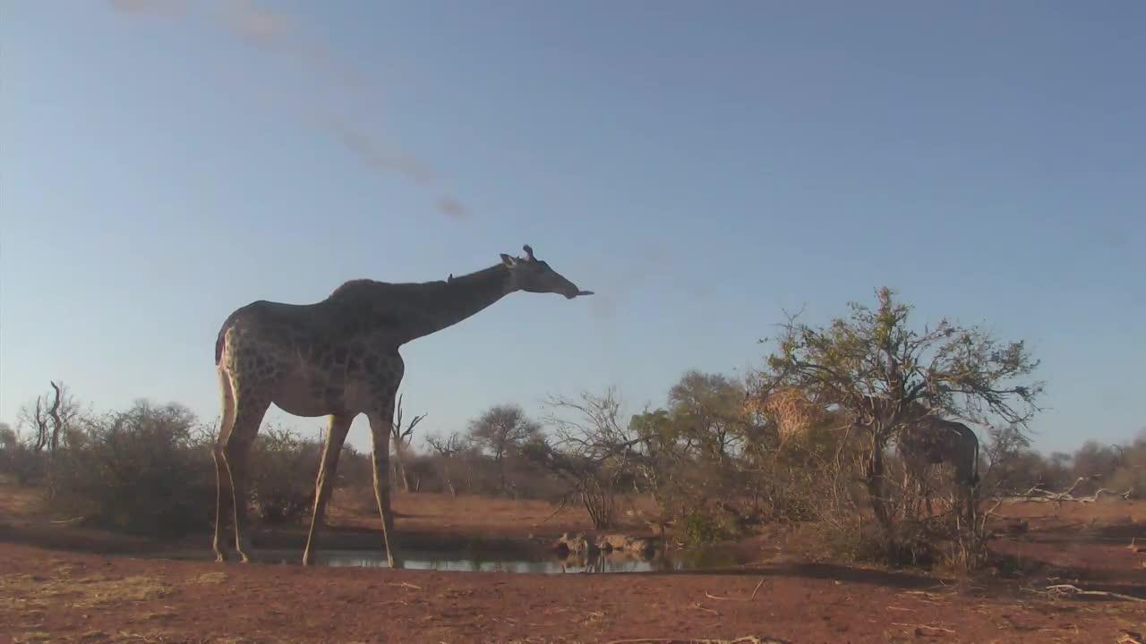 VIDEO:  Giraffes having a refreshing afternoon drink