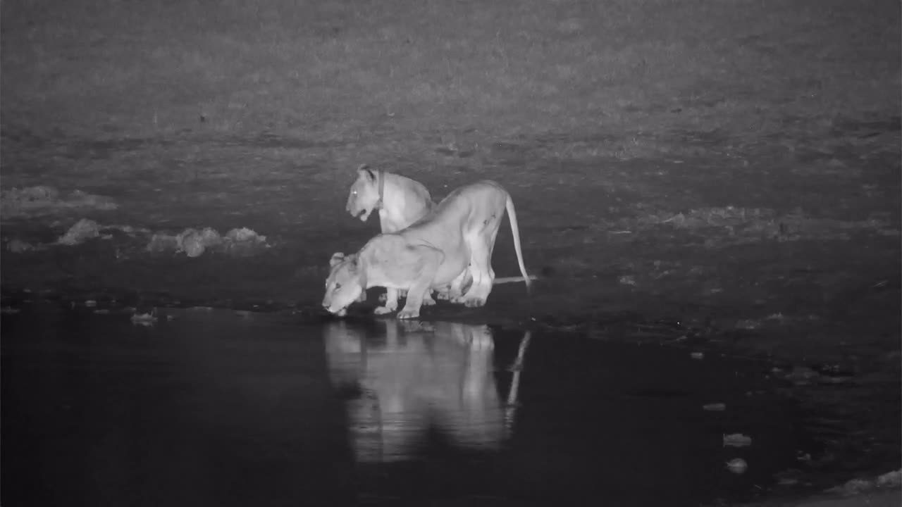 VIDEO: Two Lions - very thirsty drinking on the end of the waterhole