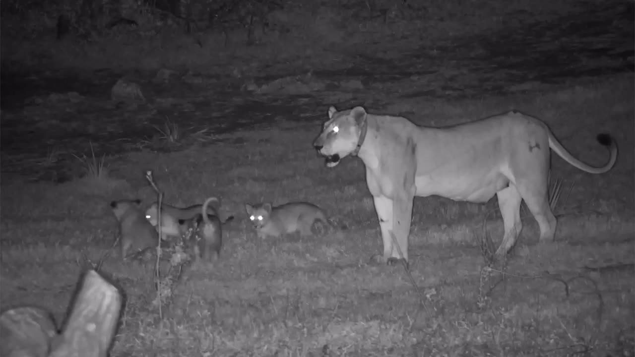 VIDEO: Lions with Cubs at the waterhole