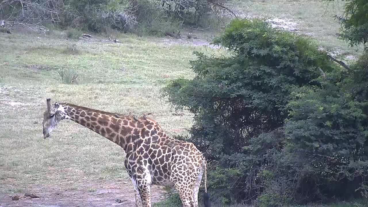 VIDEO: Giraffe Bull - very alert -came for a drink to the waterhole