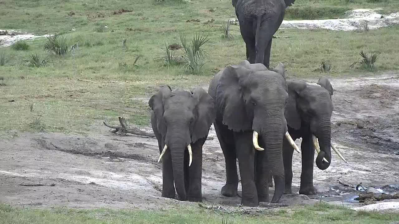 VIDEO: Elephants waiting patiently for fresh water