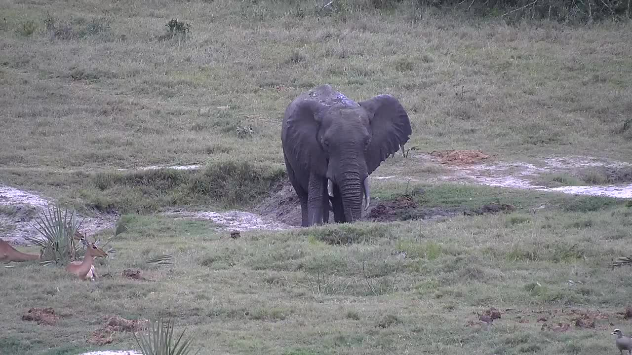 VIDEO: Elephants enjoy the mud puddles next to the waterhole