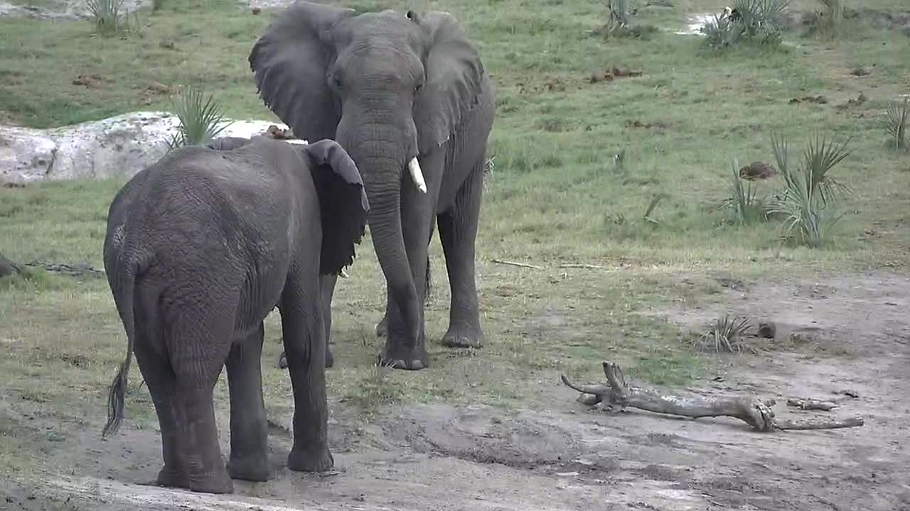 VIDEO: Elephant bulls sparring