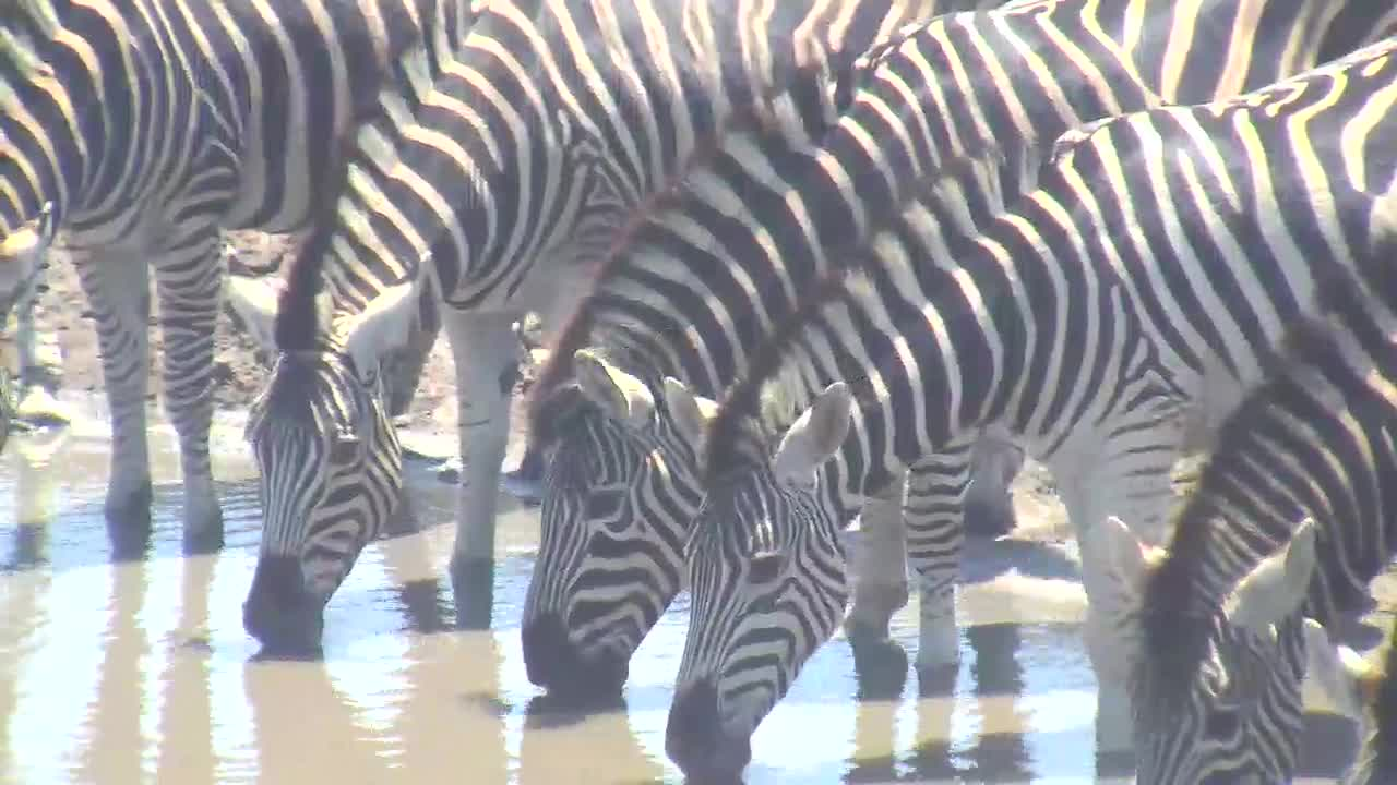 VIDEO: Zebras came to the waterhole for an extensive drink