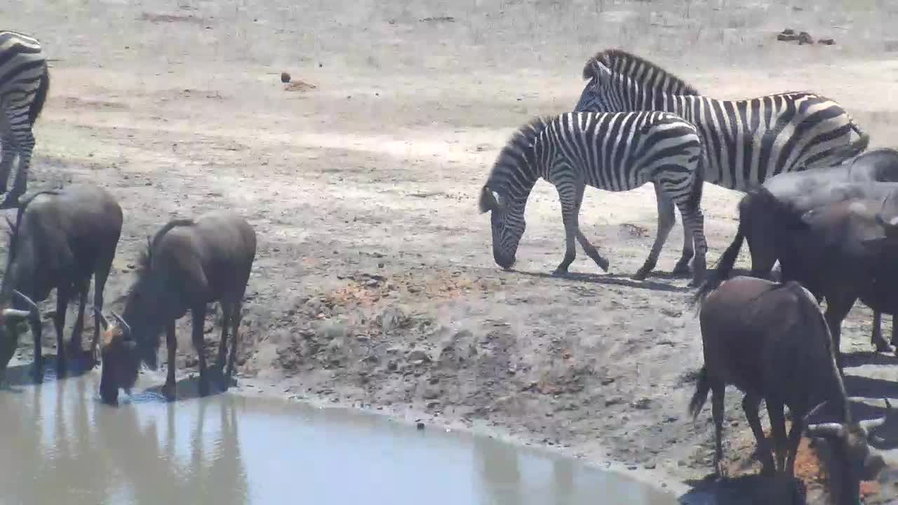 VIDEO: Wildebeests and Zebras come together for a drink at the waterhole