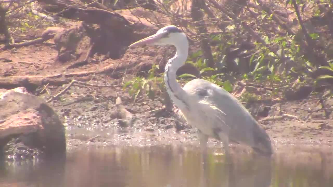 VIDEO:  Grey Heron catching his lunch