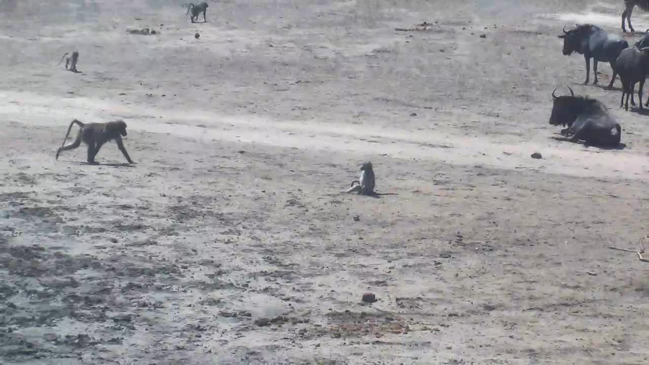 VIDEO: Baboons around the waterhole - drinking -grooming -