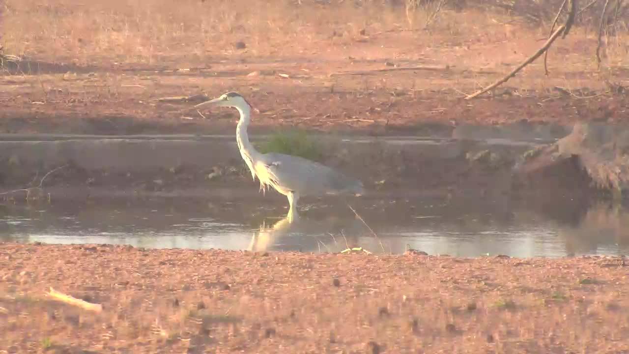 VIDEO: Grey Heron looking and finding dinner
