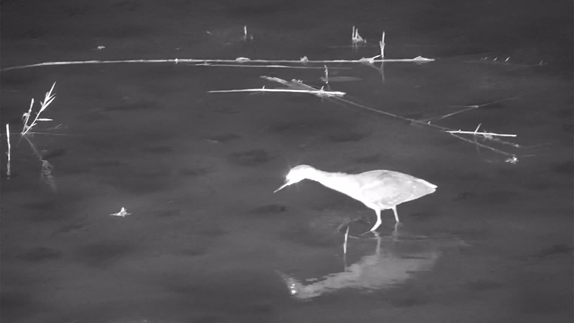 VIDEO: White-backed Night Heron Fishing in the River