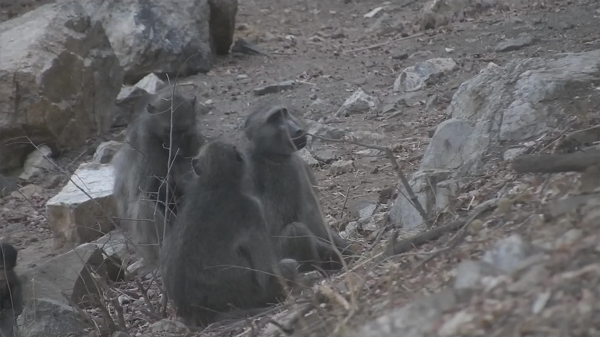 VIDEO: Baboons - adults are resting and the baby is very playful, climbs on the stone and jumps to the adults