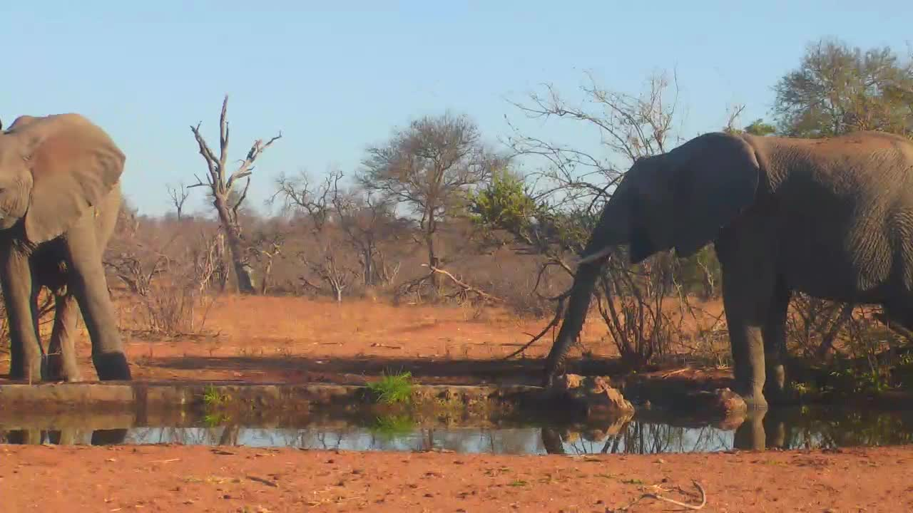 VIDEO: Two Elephants drinking and browsing at the waterhole