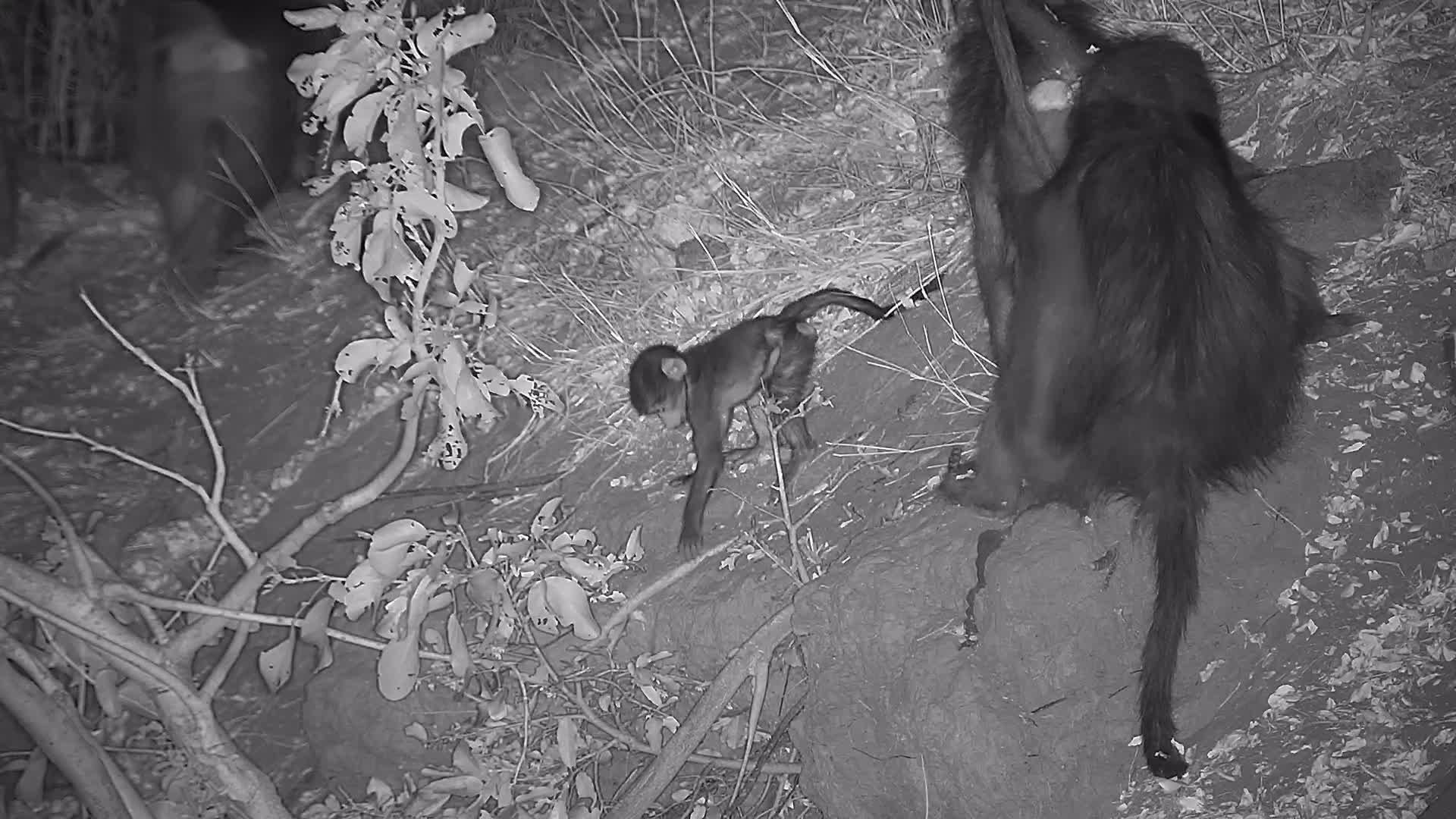 VIDEO: Baboons resting and the Babies playing