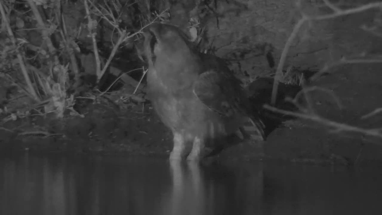 VIDEO: Verreaux's Eagle Owl came for an extensive drink to the waterhole