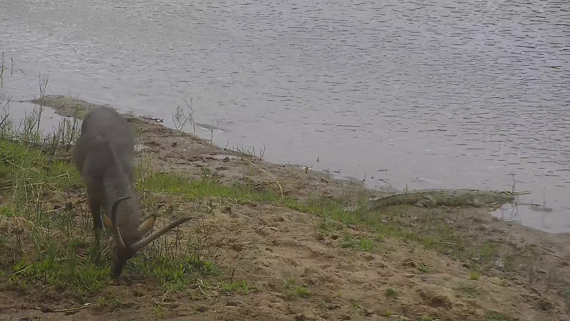 VIDEO:  Crocodile and Waterbucks at the river