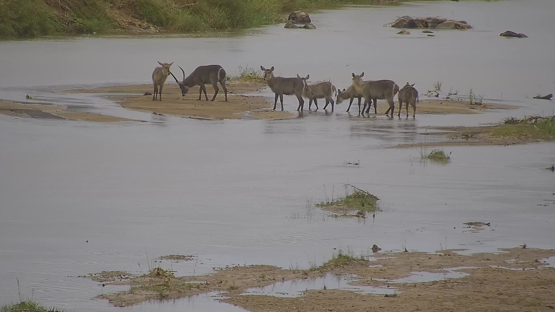 VIDEO: Waterbucks try to cross the river, but suddenly they run back to the island