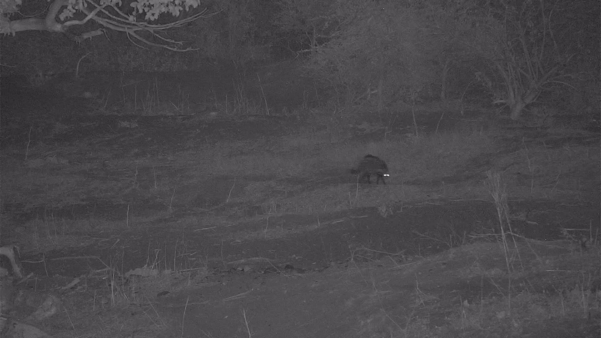 VIDEO:  Civet watches Baboon climb down tree and then off to hunt