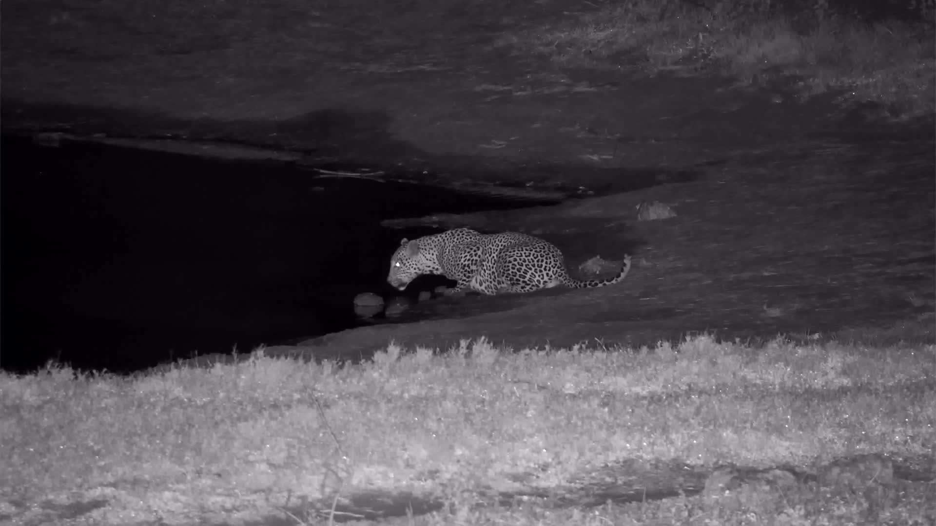 VIDEO: Leopard at the waterhole for a drink before wandering off