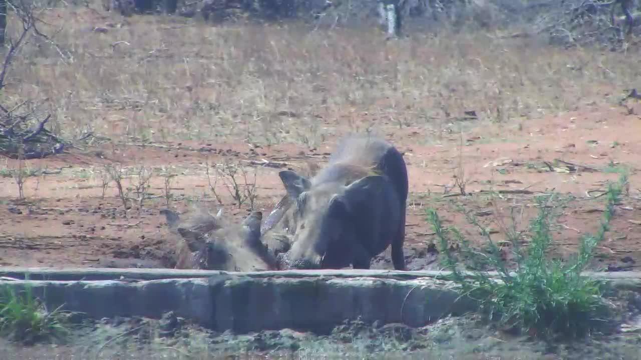 VIDEO: Warthog wallowing