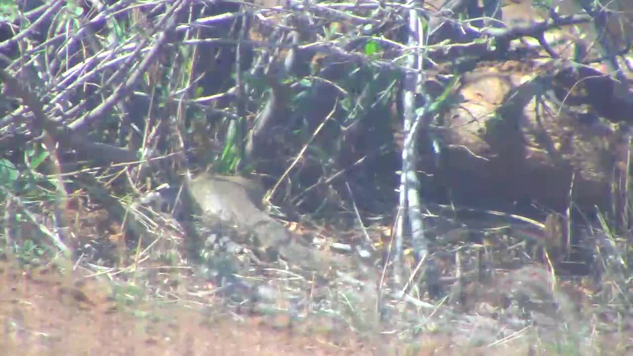 VIDEO:Slender Tailed Mongoose foraging for food