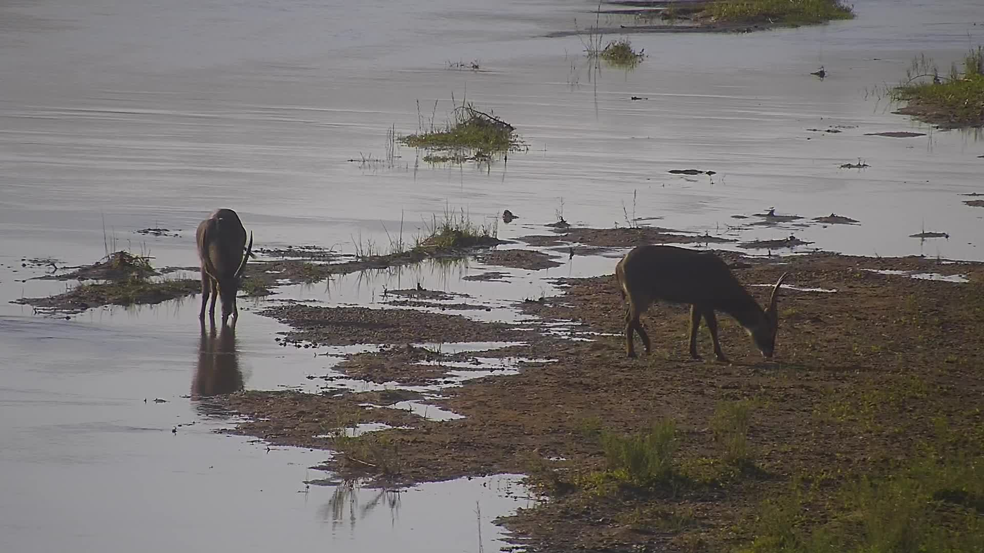 VIDEO:  Male Waterbuck testing each others strength to fight with each other