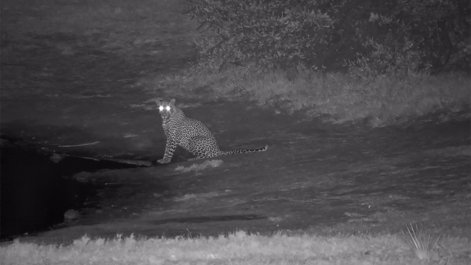 VIDEO:  Leopard; A Creature of Habit