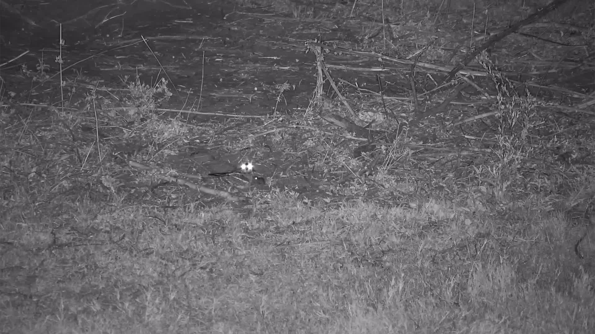 VIDEO:  Nightjar Parents share feeding duties with their 2 Chicks