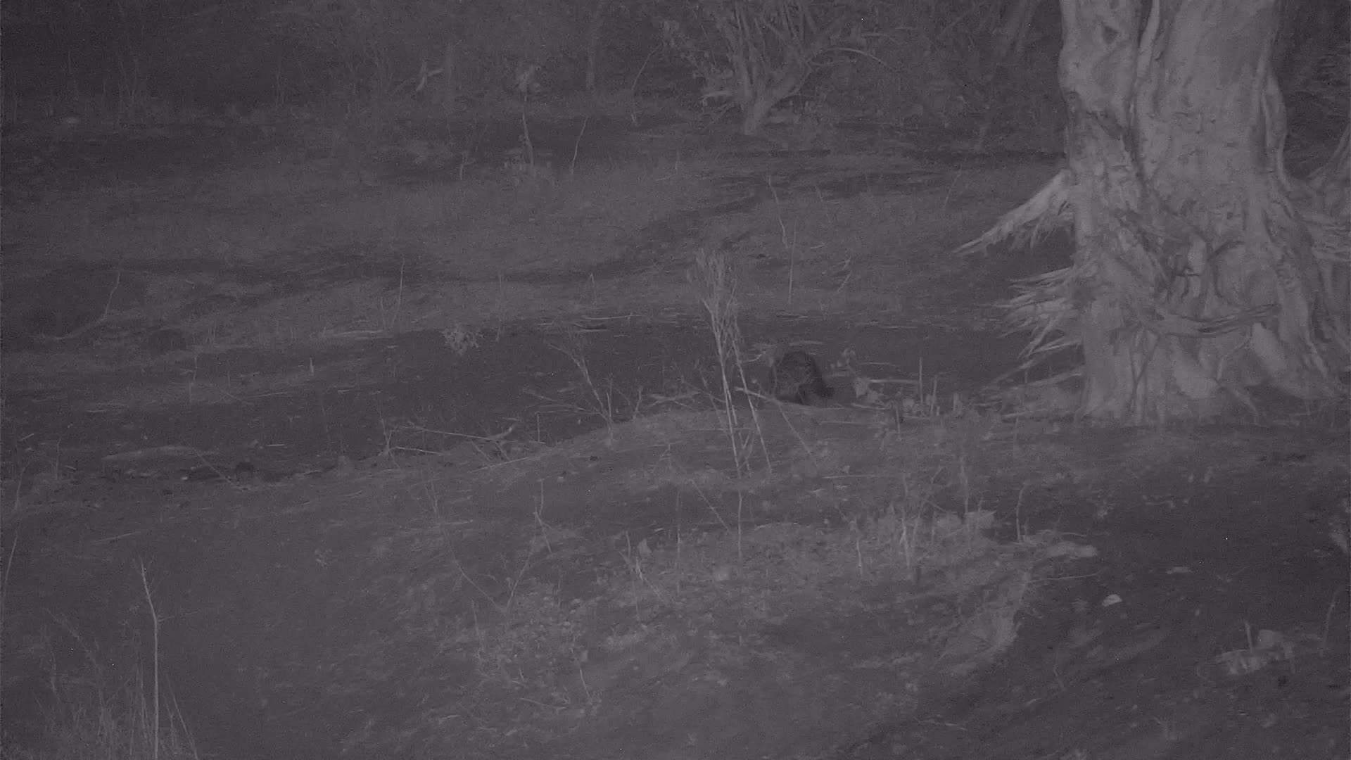 VIDEO:  Civet on the hunt along the river bank