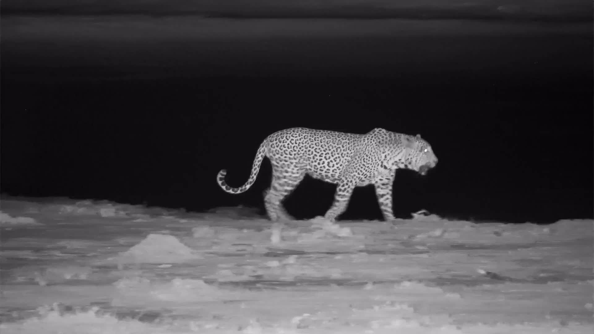 "VIDEO:  Leopard - Long drink and off to hunt (can hear the Impalas' ""snorts"" alarm"