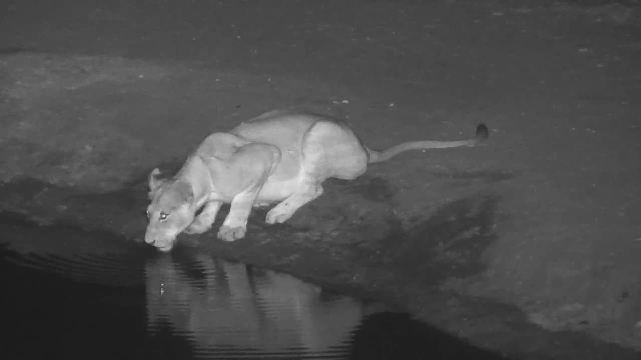 VIDEO: Lioness has a Drink and Joins the rest of her Pride