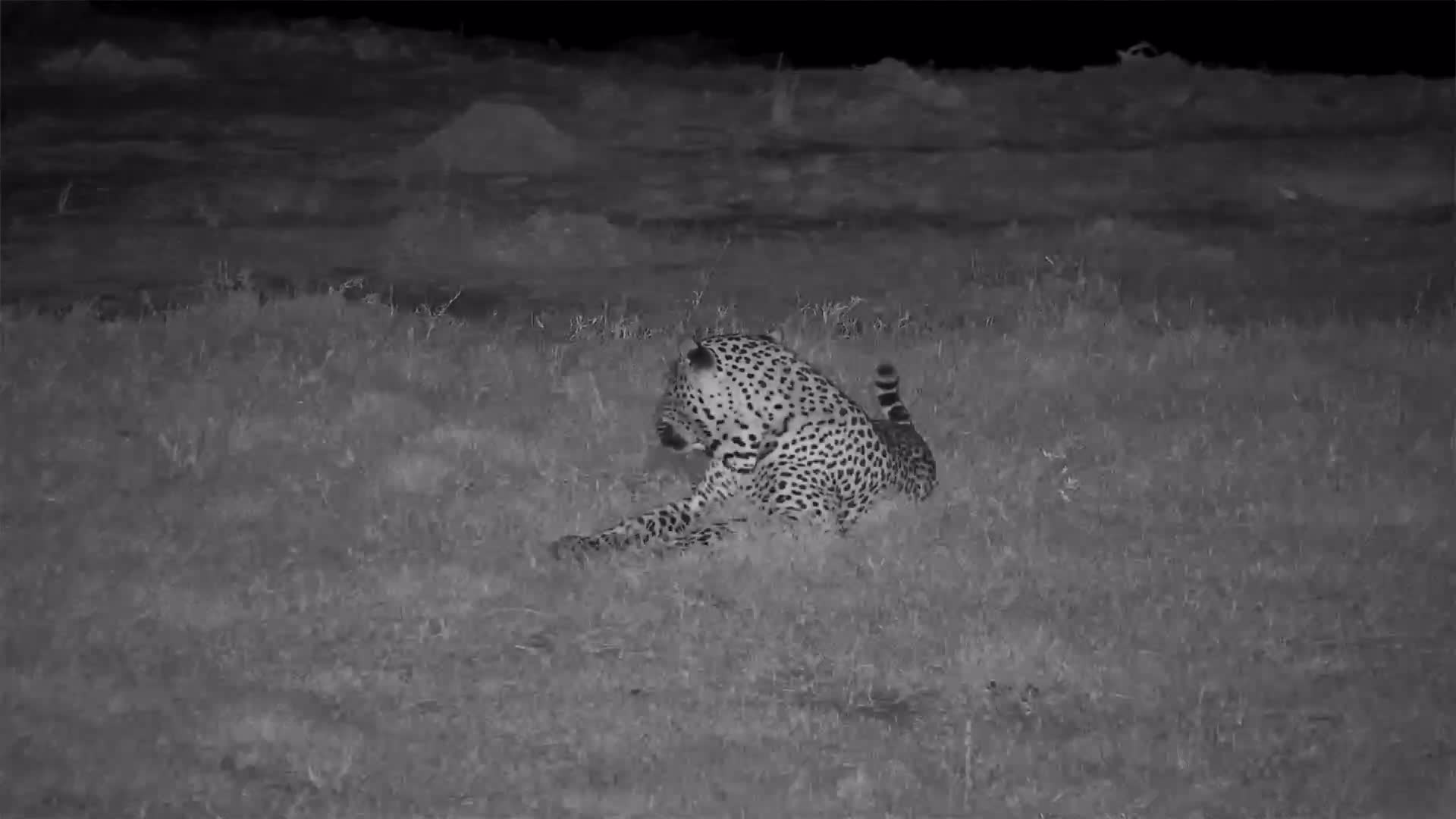 VIDEO:  Leopard Taking a Break From Scent Marking and Calling