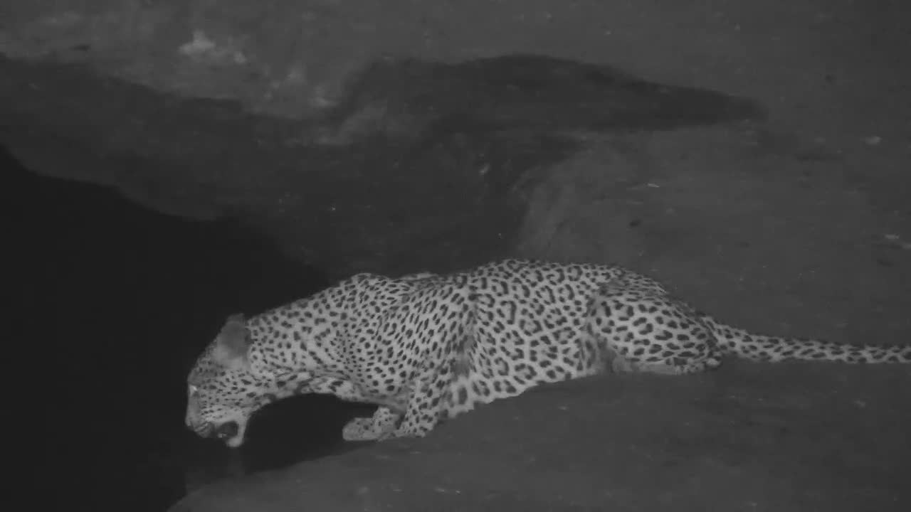VIDEO: Thirsty Leopard stops drinking often to check for danger