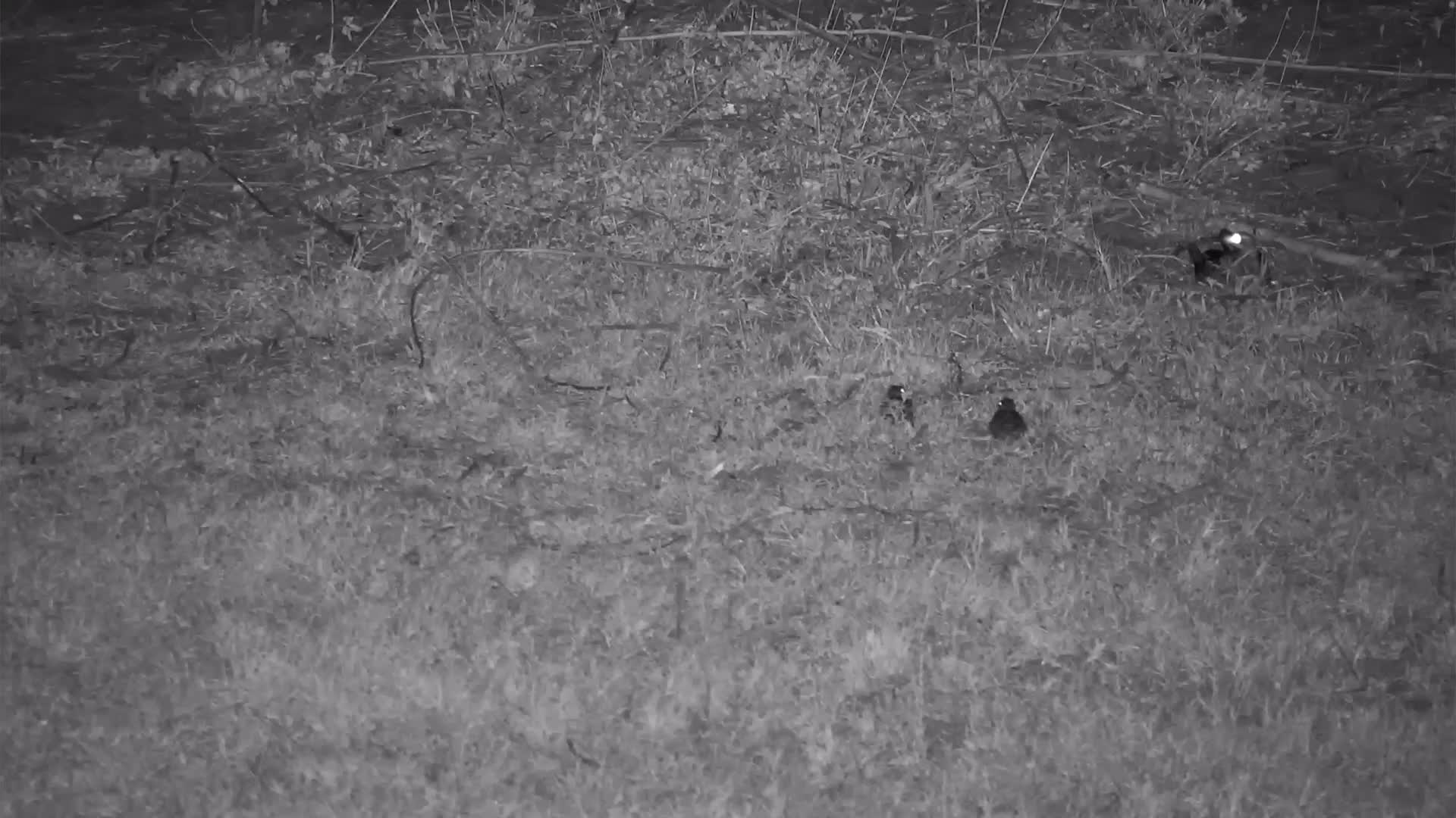 VIDEO: The first flight attempts of the young Nightjars