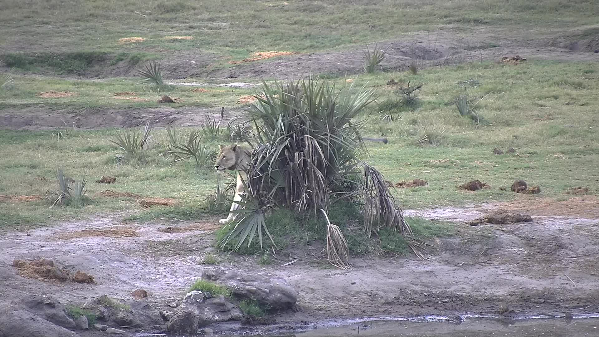 VIDEO: Lioness pays a short visit to the waterhole