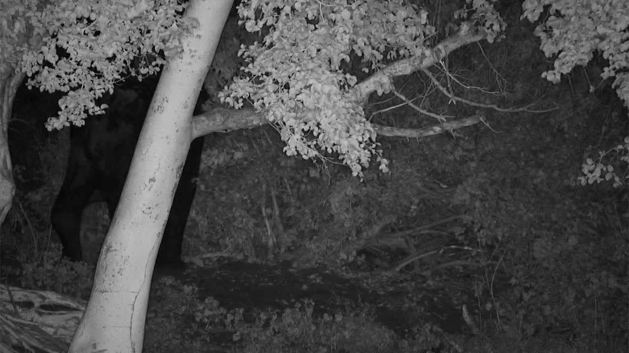 VIDEO: Testing - Elephant browsing