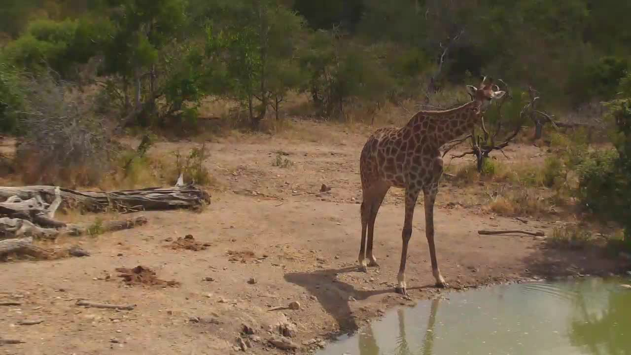 VIDEO:  Giraffes drinking water