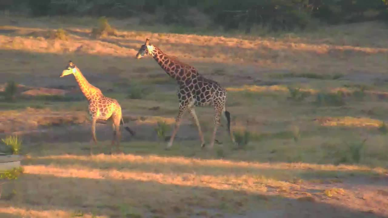 VIDEO: GIRAFFES quickly passing through while ELEPHANT enjoys a drink